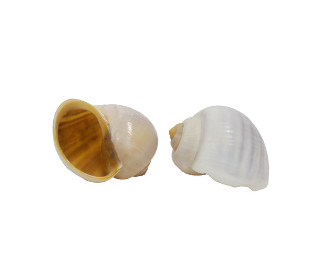 Rice Field Snails Seashells
