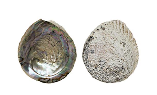 Abalone Seashell