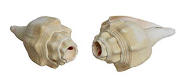 Chank Horn Seashells