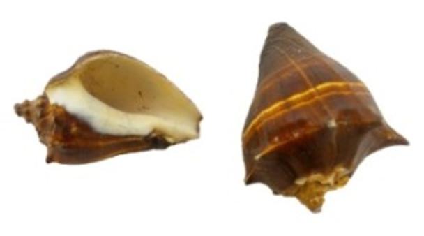 Fiber Conch Seashells Lacquered