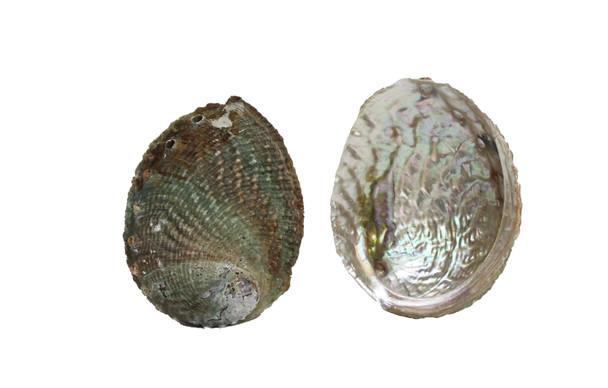 Pink Abalone Seashell