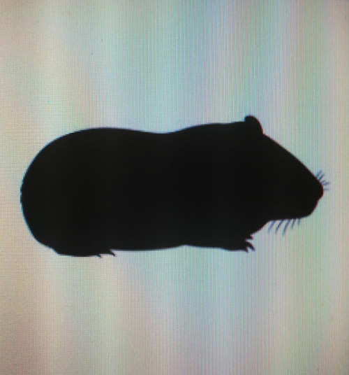 Guinea pig medium 300-600 g 10kg