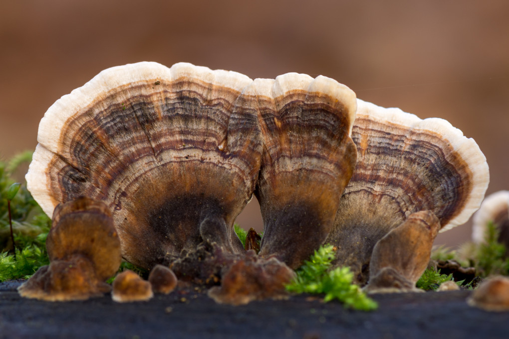 Turkey Tail Fungus is THE Medicinal Ally for Modern Humans
