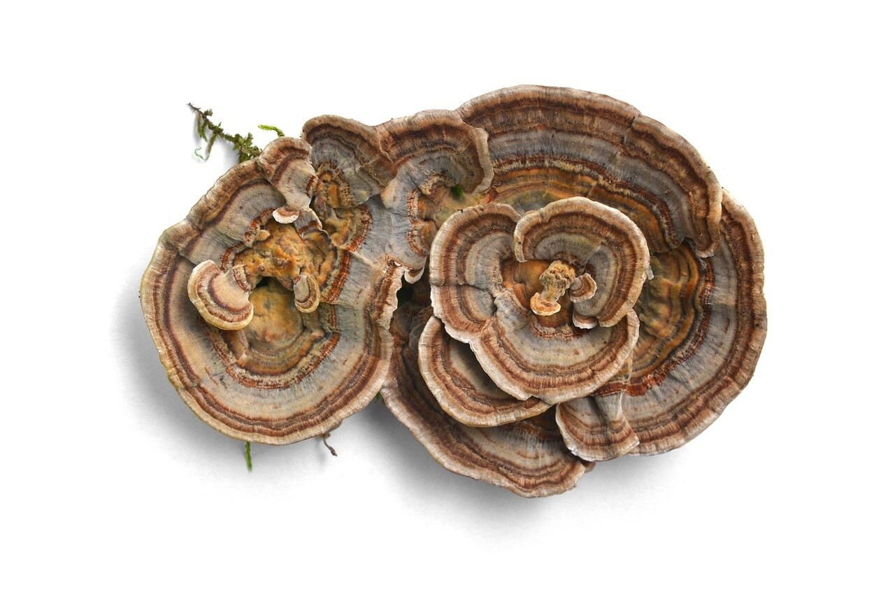 RAW Forest Foods Turkey Tail Extract Powder — Immune Support — Ready to Use