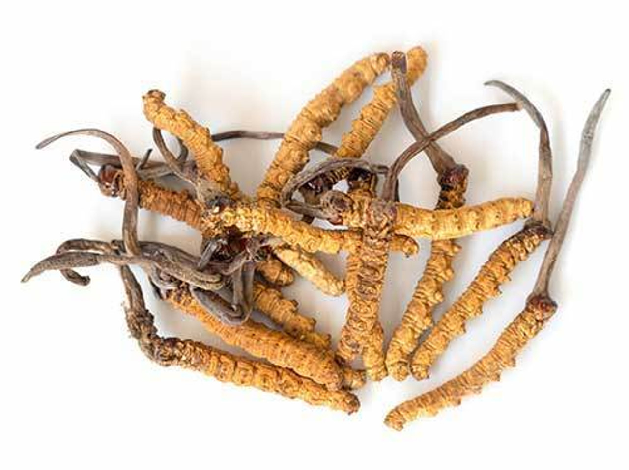 RAW Forest Foods Cordyceps Extract Powder — Advanced Formula — Ready to Use
