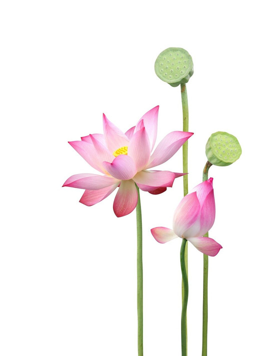 RAW Forest Foods RAW Sacred Lotus Flower Pollen — Ecologically Crafted