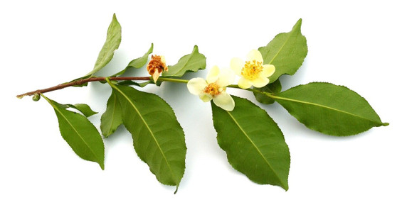 RAW Forest Foods RAW Green Tea Flower Pollen — Camellia sinensis — Ecologically Crafted
