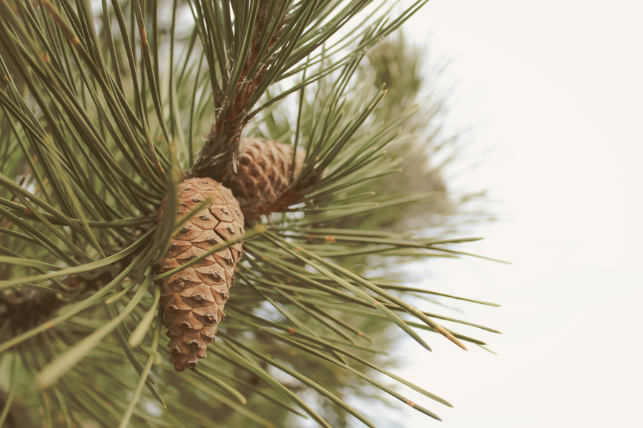 Pine Pollen Tincture: The Better, Pro-Androgenic Herb
