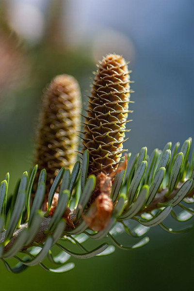 Royal Pine Pollen Tincture