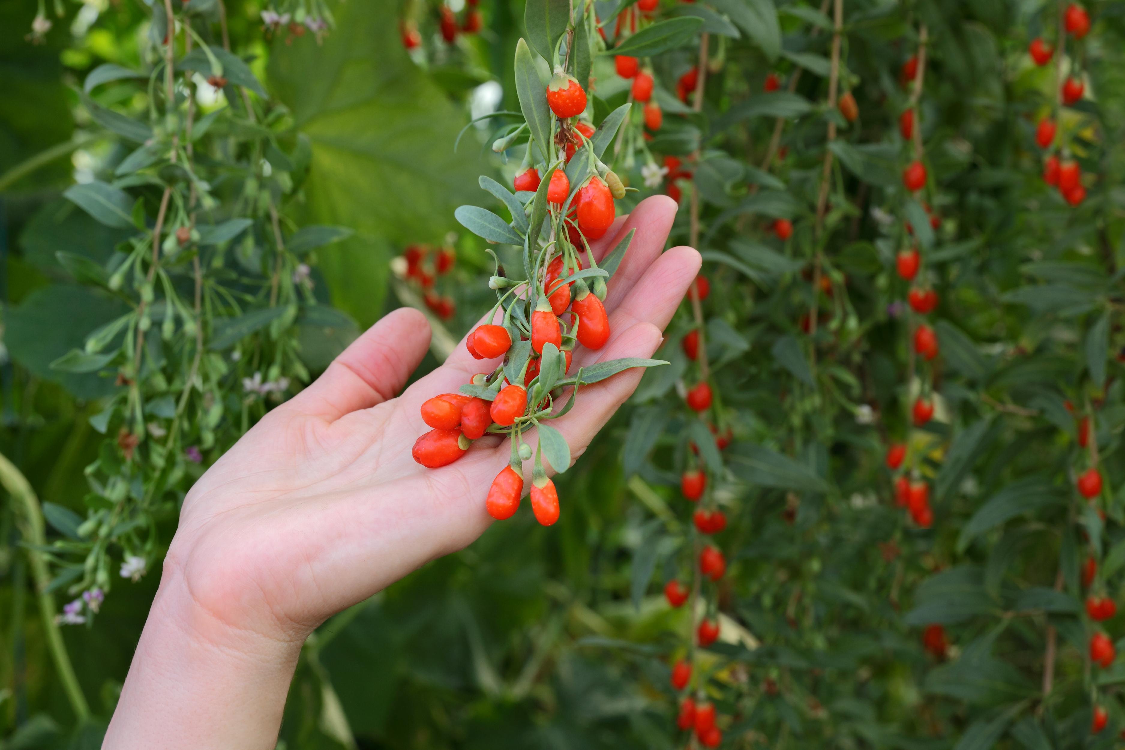 Goji Berry (Gou Qi Zi) for Pineal Gland De-calcification