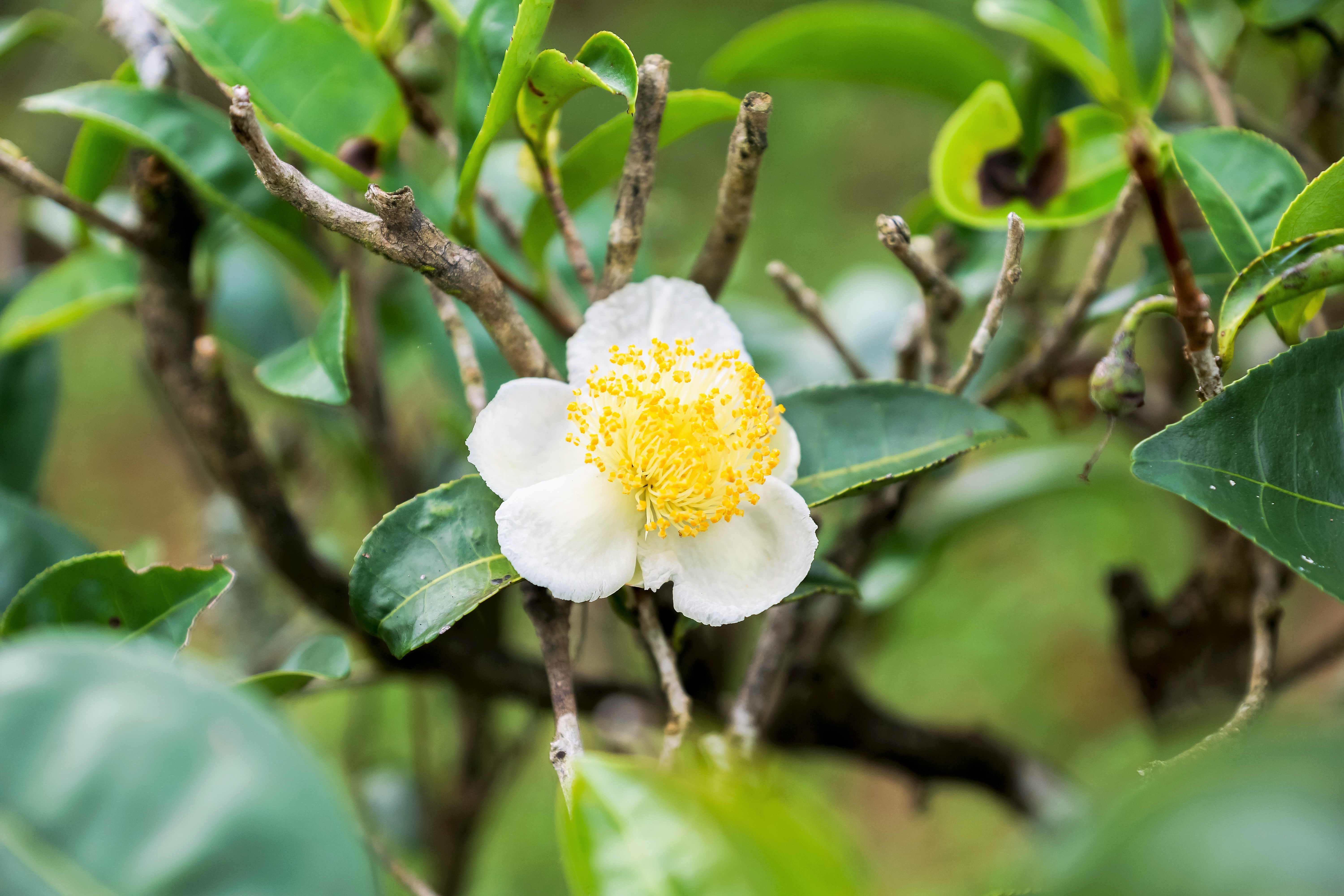 Defense-Related Proteins and Camellia Sinensis Pollen