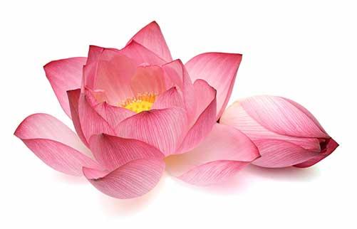 nelumbo-nucifera-lotus-pollen-1.jpg