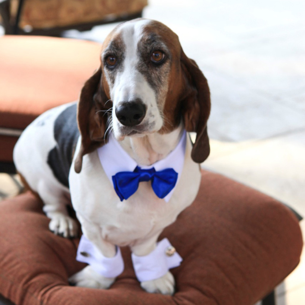 White Shirt Dog Collar with Royal Blue Bow Tie