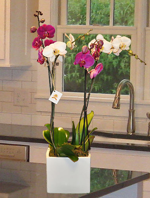 The Dancing Dandelion Orchid Garden