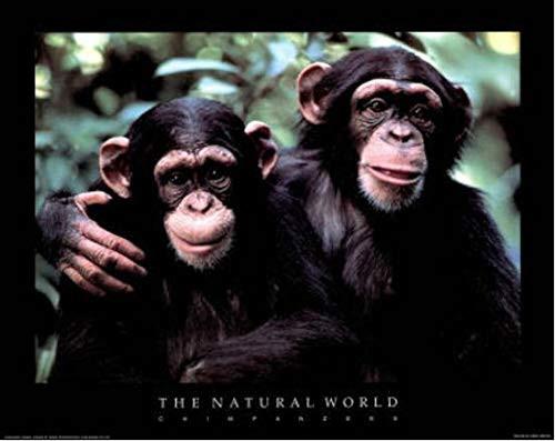 The Natural World Chimpanzees Poster - 20 x 16