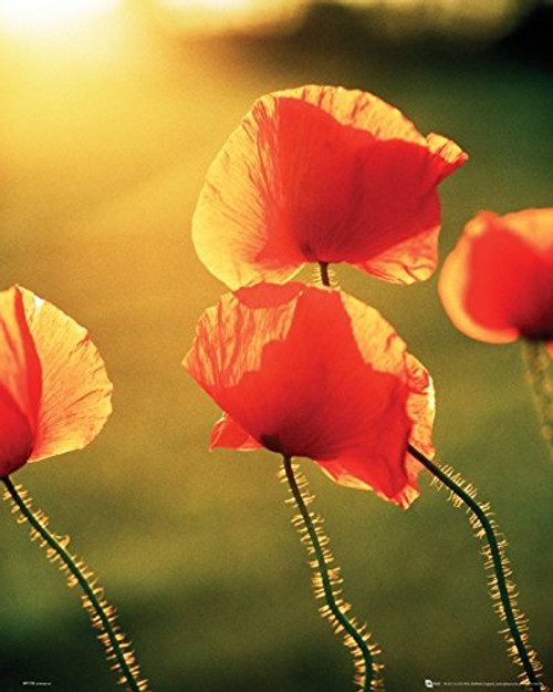 Poppies Mini Poster - Glow (20 x 16 inches)