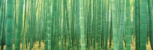 Bamboo Forest Photography Print Poster 36x12