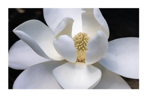 Magnolia Flower Poster Print 36x24