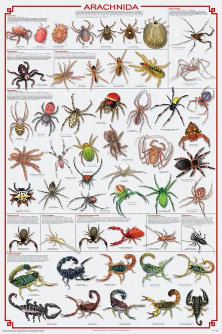 Arachnida Educational Poster 24x36
