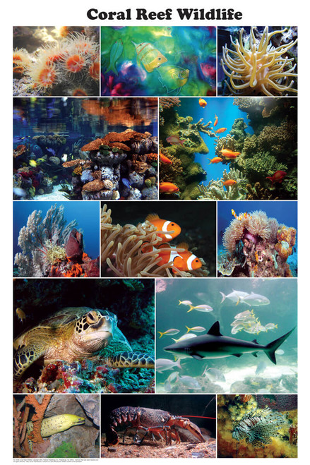 Coral Reef Wildlife Photographic Poster 24x36