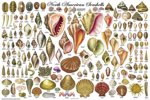 North American Seashells Educational Poster 36x24