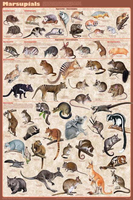 Marsupials Educational Poster 24x36