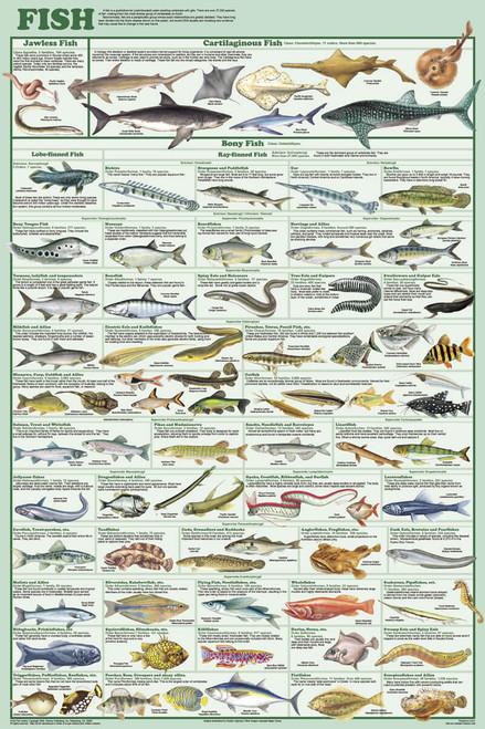 Fish Educational Poster 24x36