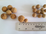 Quandong Seeds (mixed sizes)