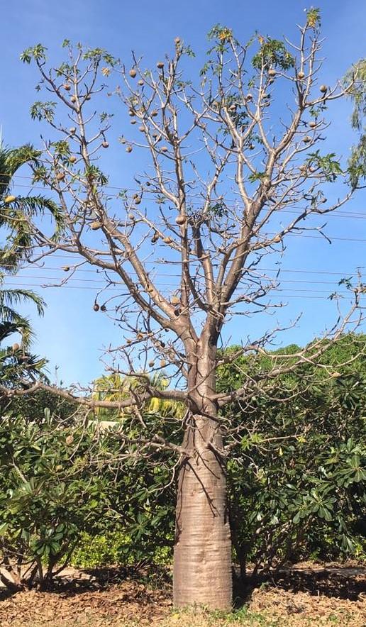 boab-tree.jpg