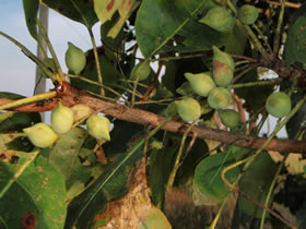 kakadu-plums-on-tree.jpg