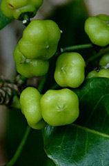 lemon-aspen.jpg
