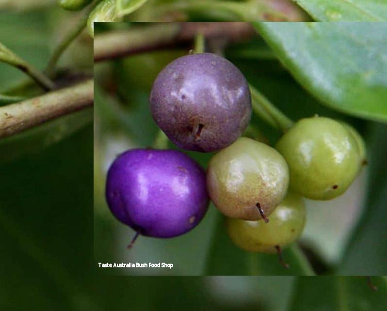 native-juniper.png