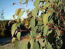 strawberry-gum-tree.jpg