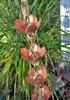 Tara Flower Copper and Brass Premium Rain Chain