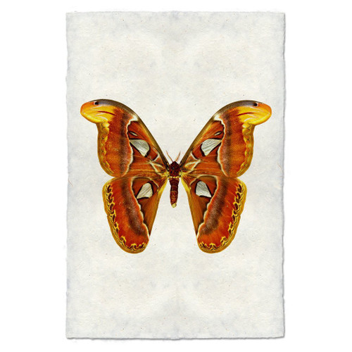 Butterfly Papilionoidea Study Print #2