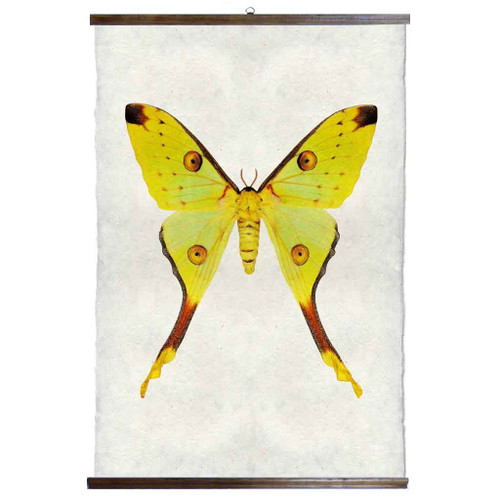 Grand Format Papilionoidea #1 Print with wood Hanger