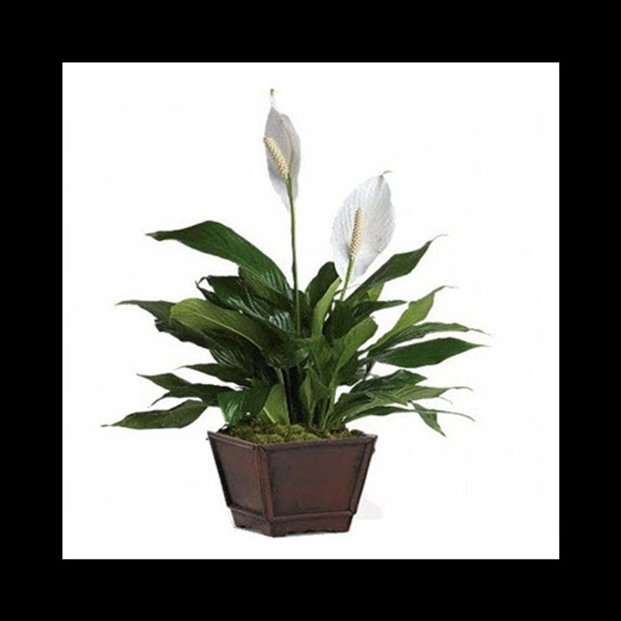 PREMIUM PEACE LILY IN DELUXE CONTAINER