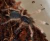 Trinidad Olive Tarantula (Sling) - Neoholothele incei