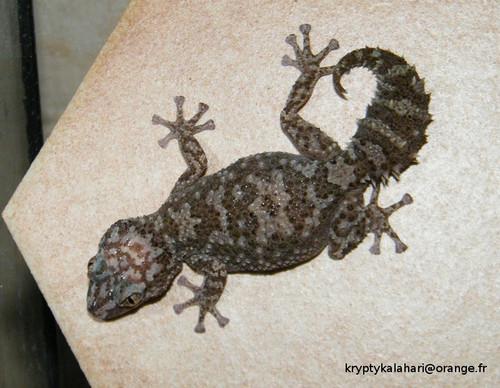 Ibity Ground Gecko - Paroedura bastardi ibityensis