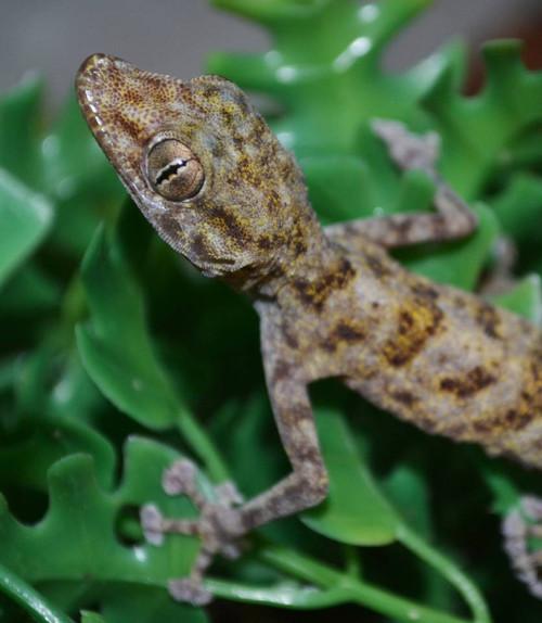 Fan Footed Gecko - Ptyodactylus hasselquistii