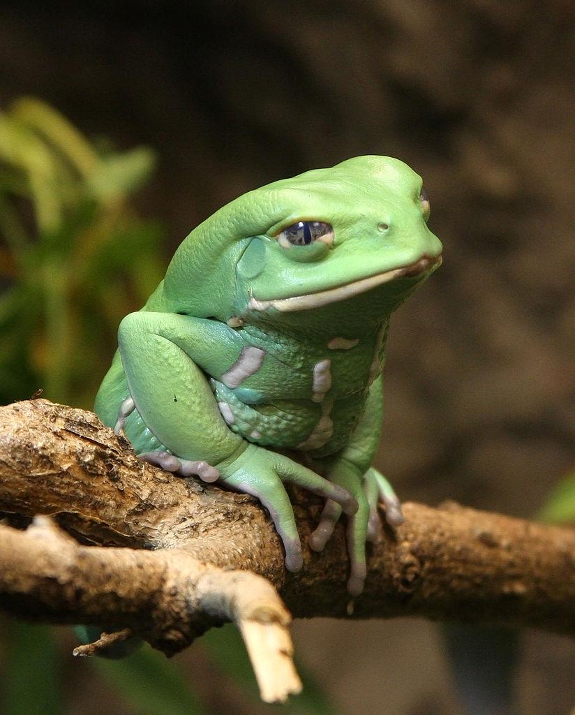 Pet Rock Frog