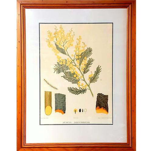 Antique Acacia Decurrens Botanical Print 1882 Forest Flora of South Australia.