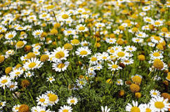 Image result for roman chamomile essential oil properties