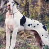 Great Dane Mantle with blk spots pillow/wall art