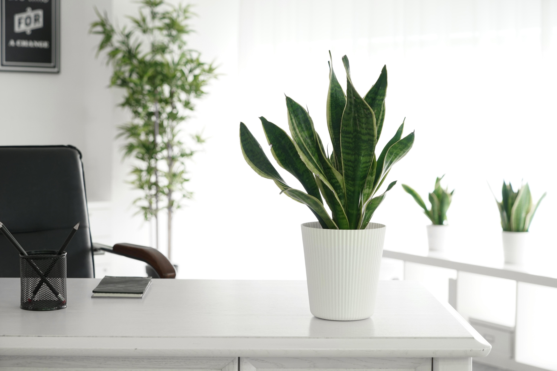 snake plant on a white round planter