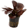 Echinodorus 'Reni'