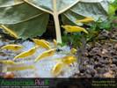 Yellow Neocaridina Shrimp - 5 Pack