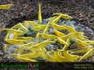 Yellow Neocaridina Shrimp - 10 Pack