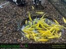 Yellow Neocaridina Shrimp - 20 Pack
