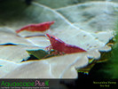 Fire Red Neocaridina Shrimp - 5 Pack